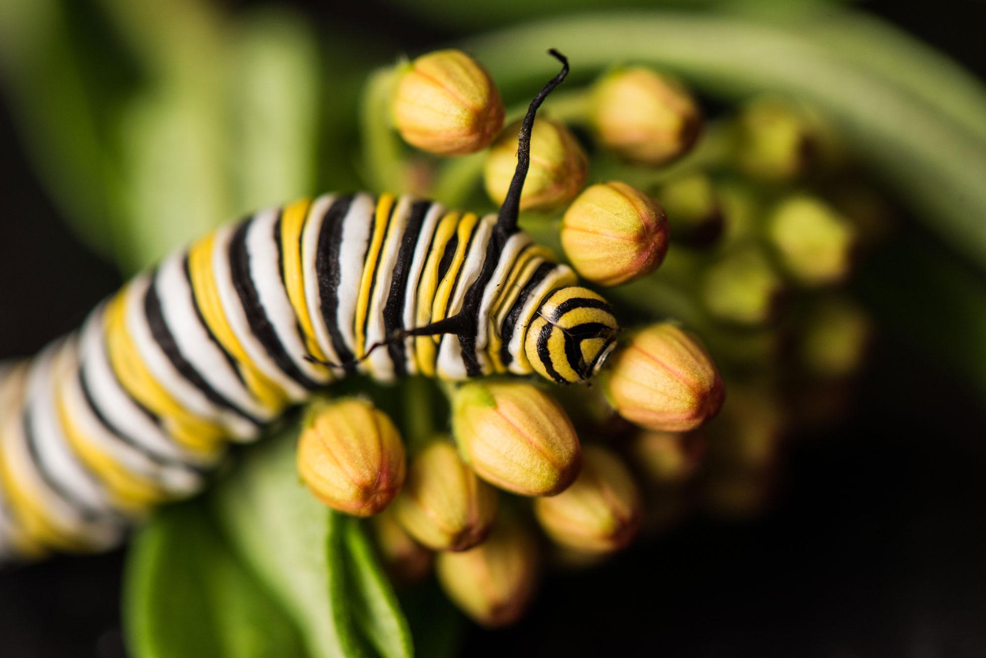 Monarch caterpillar on a milkweed plant. Image credit: Austin Thomason/Michigan Photography