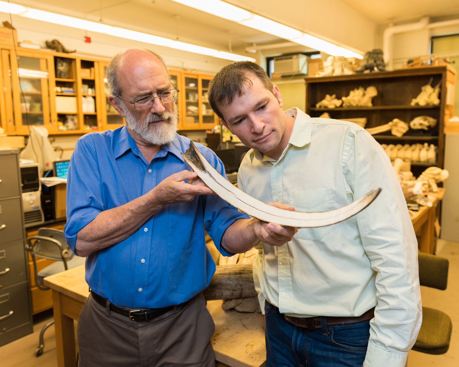 Daniel Fisher, director of the University of Michigan Museum of Paleontology, left, and Michael Cherney, a U-M doctoral student in the Department of Earth and Environmental Sciences, examine a tusk of a juvenile woolly mammoth from Siberia. The tusk was cut along its axis to expose the interior surface.
