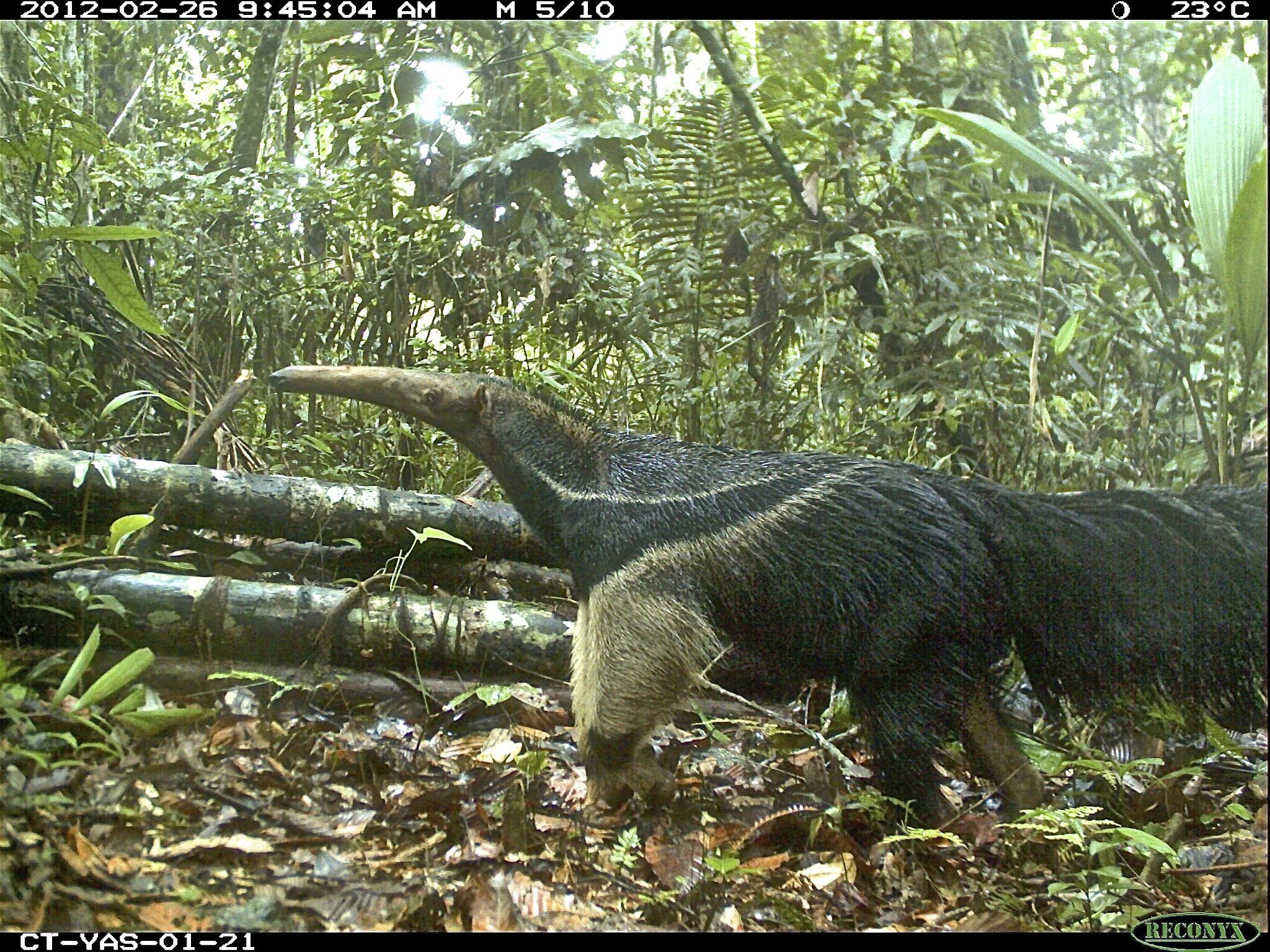 A giant anteater (Myrmecophaga tridactyla) in Yasuní National Park, Ecuador. Image credit:  Julia Salvador, TEAM Network and Missouri Botanical Garden