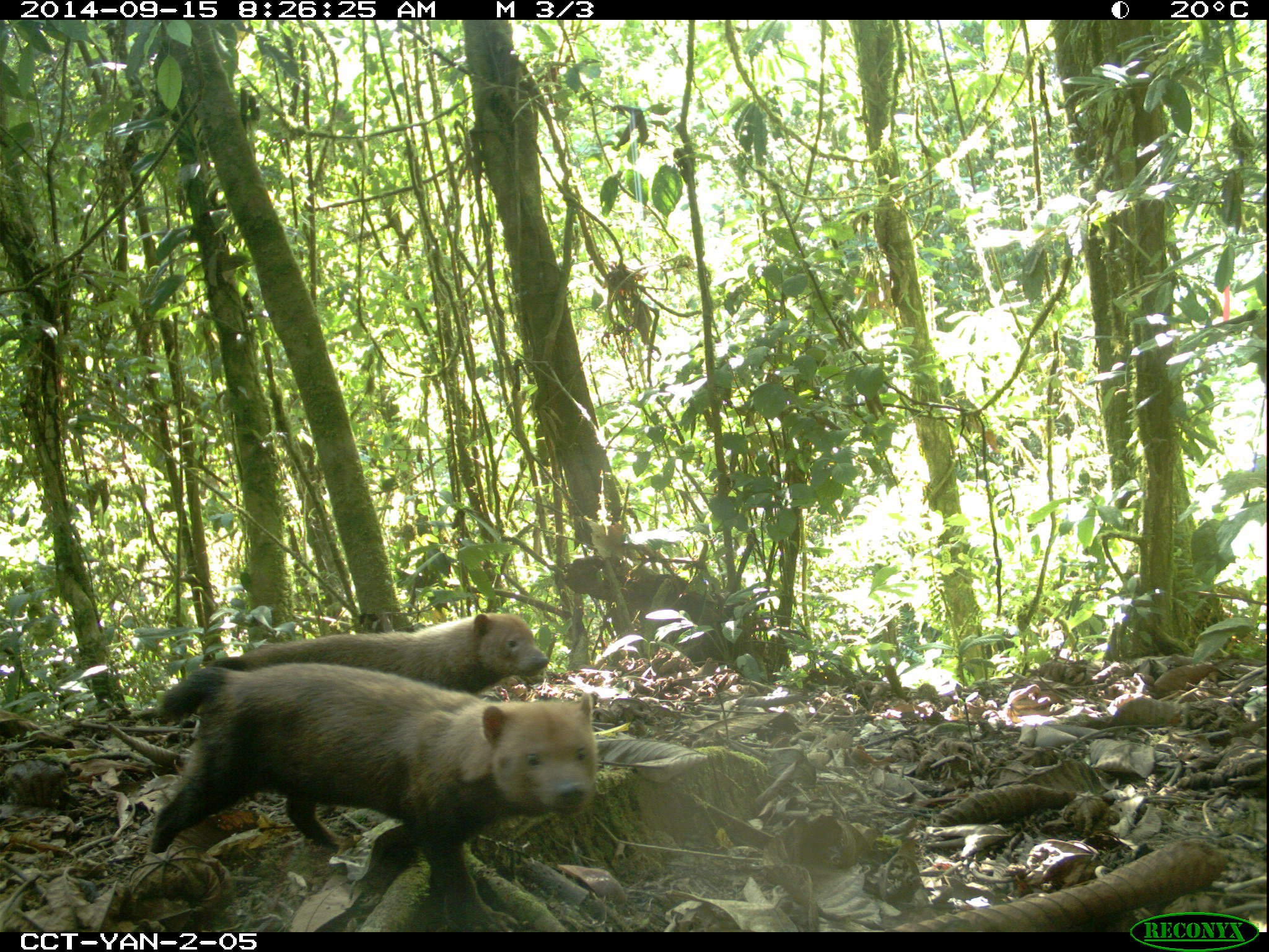 Two rarely-seen bush dogs (Speothos venaticus) are captured for the first time in Yanachaga–Chemillén National Park, Peru, by TEAM camera traps. Image credit: TEAM Network and Missouri Botanical Garden
