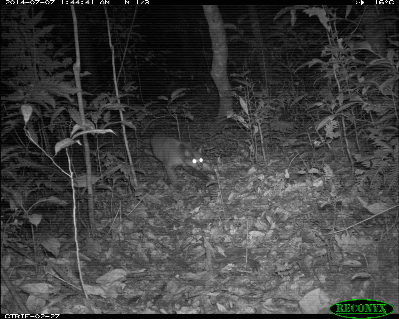 African golden cat (Caracal aurata). TEAM researchers saw an increase in sightings of this species when park managers in Bwindi Impenetrable Forest redirected tourist trails out of popular golden cat habitat. Image credit: TEAM Network and Wildlife Conservation Society