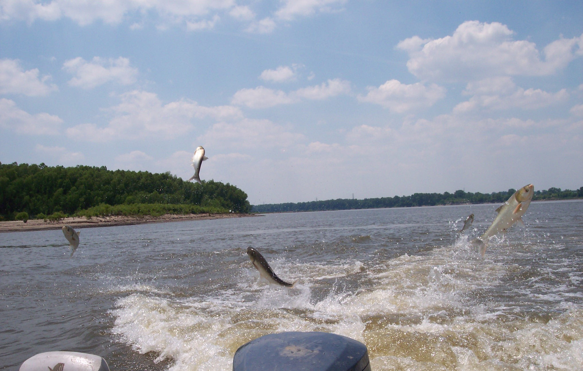Asian carp jumping from the Mississippi River near Cape Girardeau, Missouri. Image credit: Sara Tripp, Missouri Department of Conservation