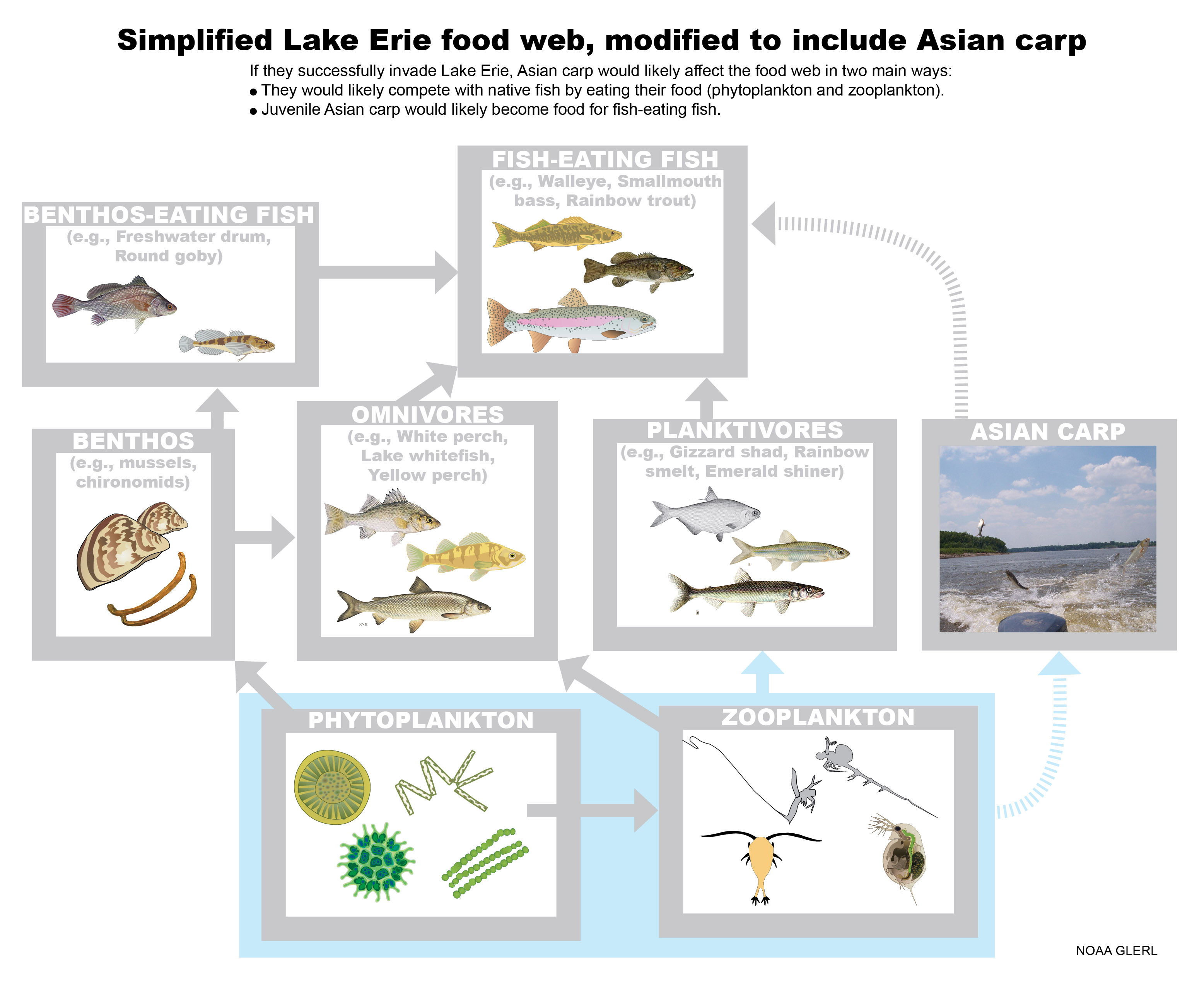 Simplified Lake Erie food web, modified to include Asian carp