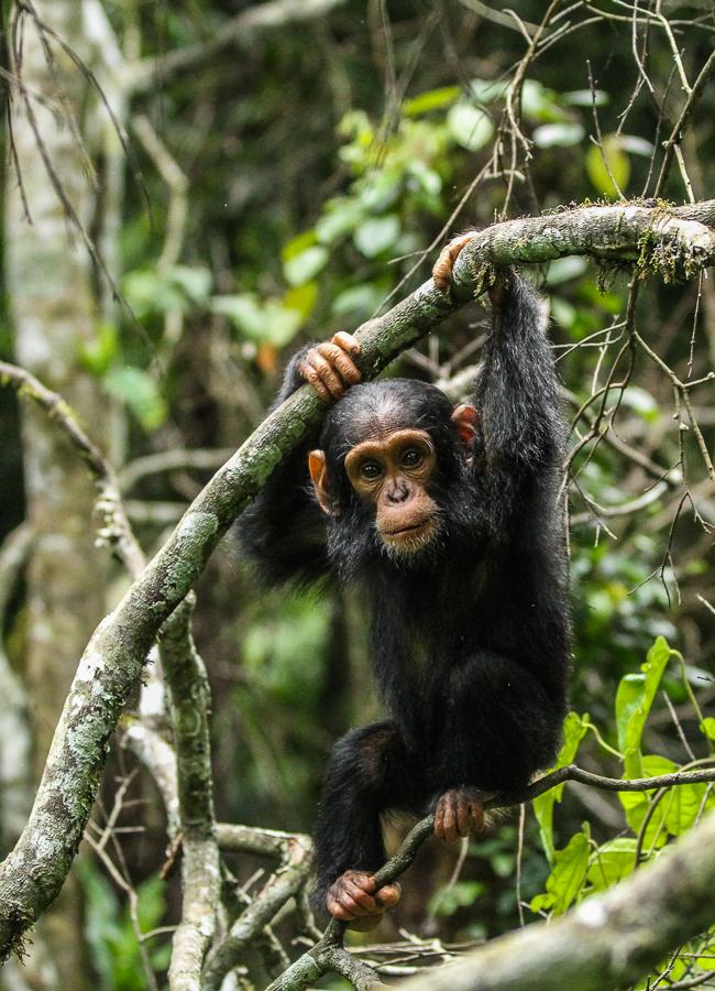 Chimpanzee in Kibale National Park, Uganda. Image credit: Andrew Bernard