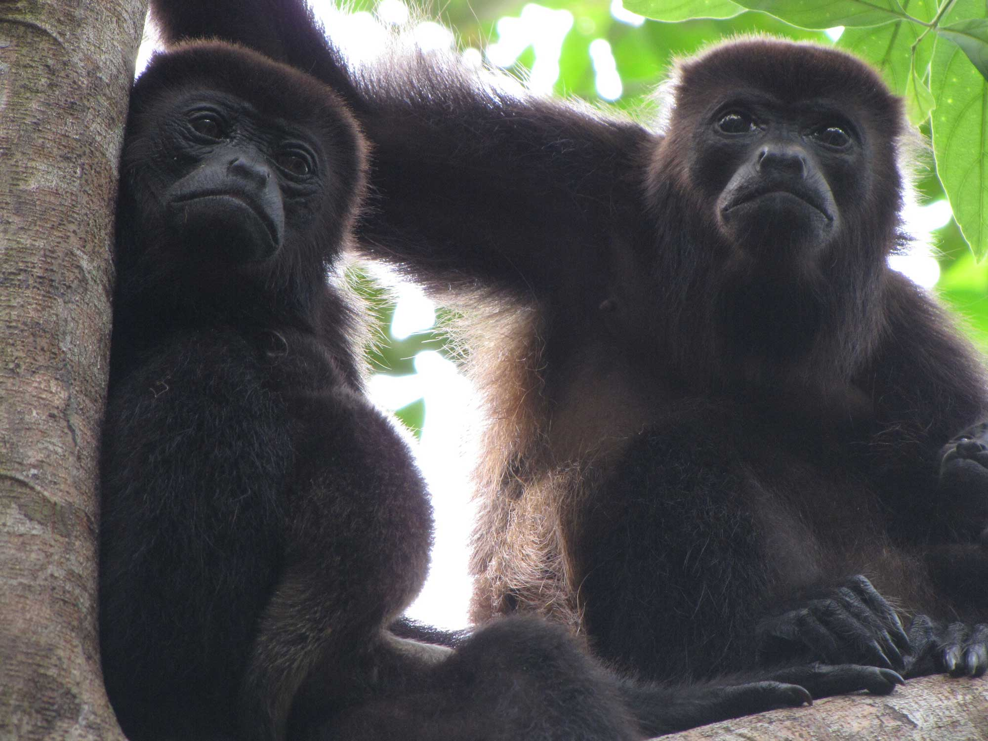 Two mantled howler monkey females with babies. Image credit: Milagros Gonzalez