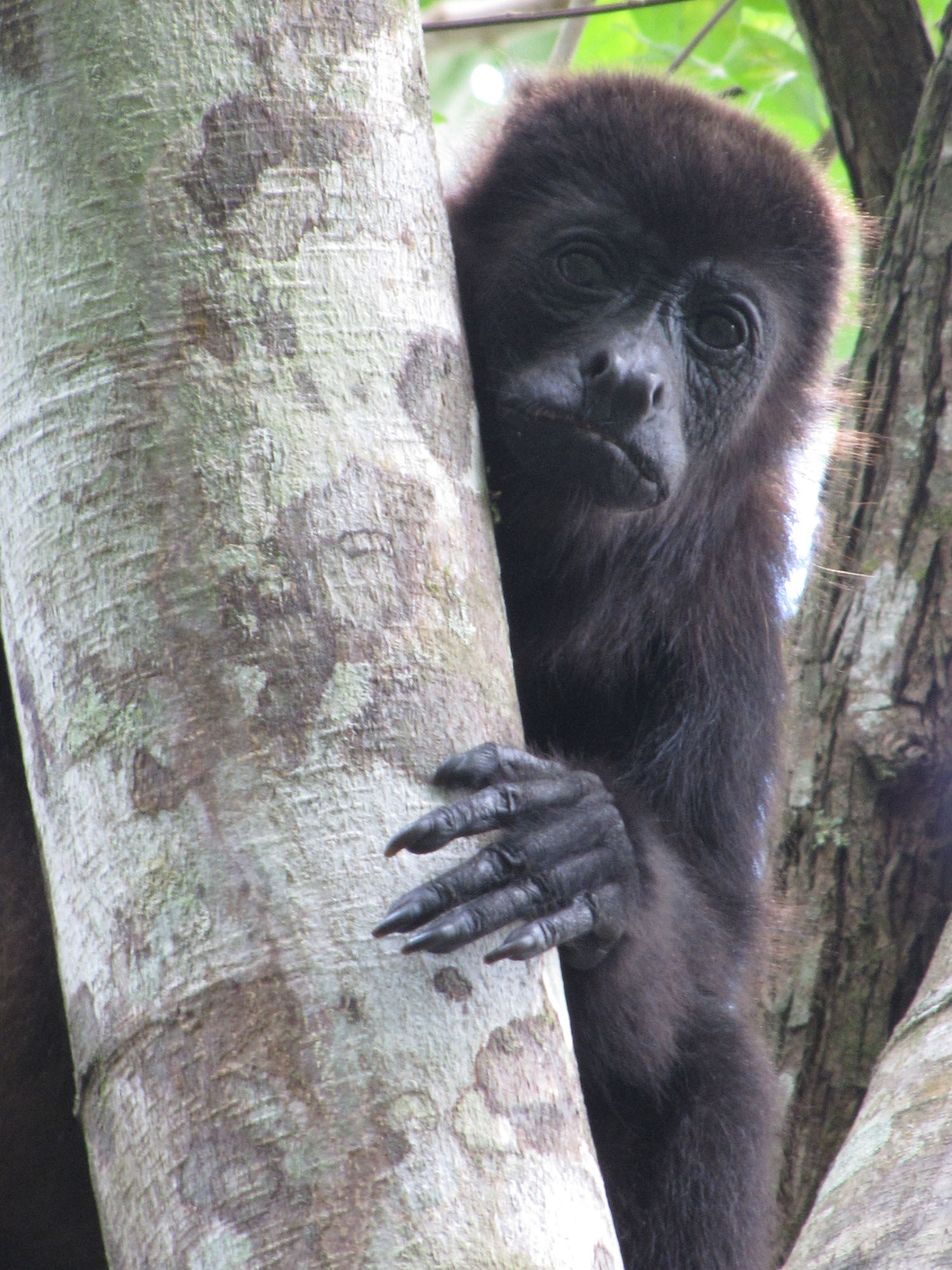 A female mantled howler monkey in Tabasco, Mexico. Image credit: Milagros Gonzalez