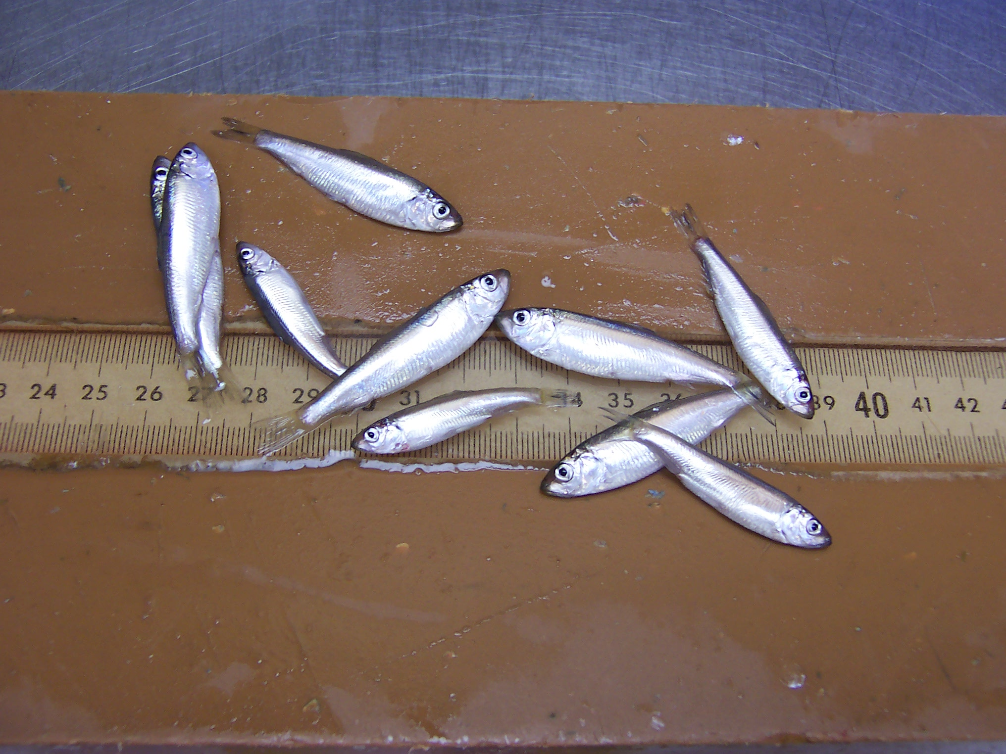 Alewives from Lake Huron. Image credit: Tim O'Brien