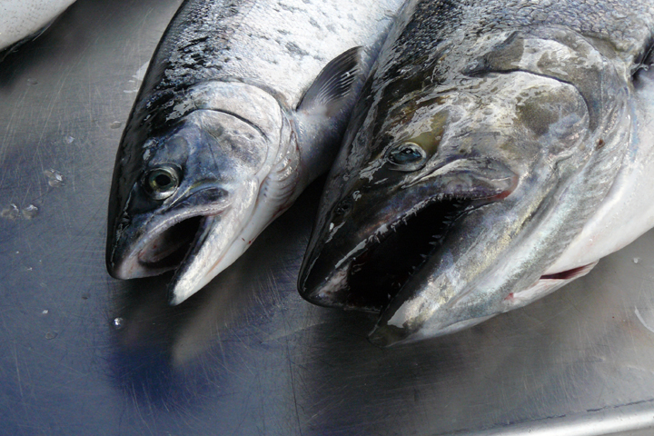 Coho salmon (left) alongside a Chinook salmon. Image credit: Michigan Sea Grant