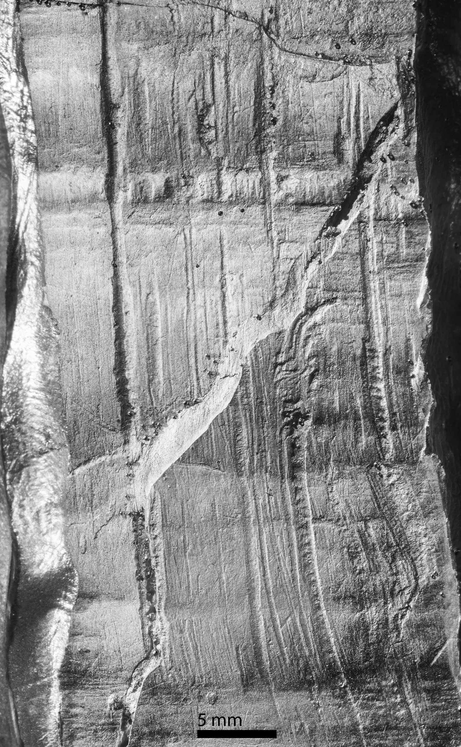 Closeup of an epoxy cast of transverse cut marks on the base of the Page-Ladson mastodon tusk. Diagonal feature is a fracture through the outer layer. Image credit: Daniel C. Fisher, University of Michigan Museum of Paleontology