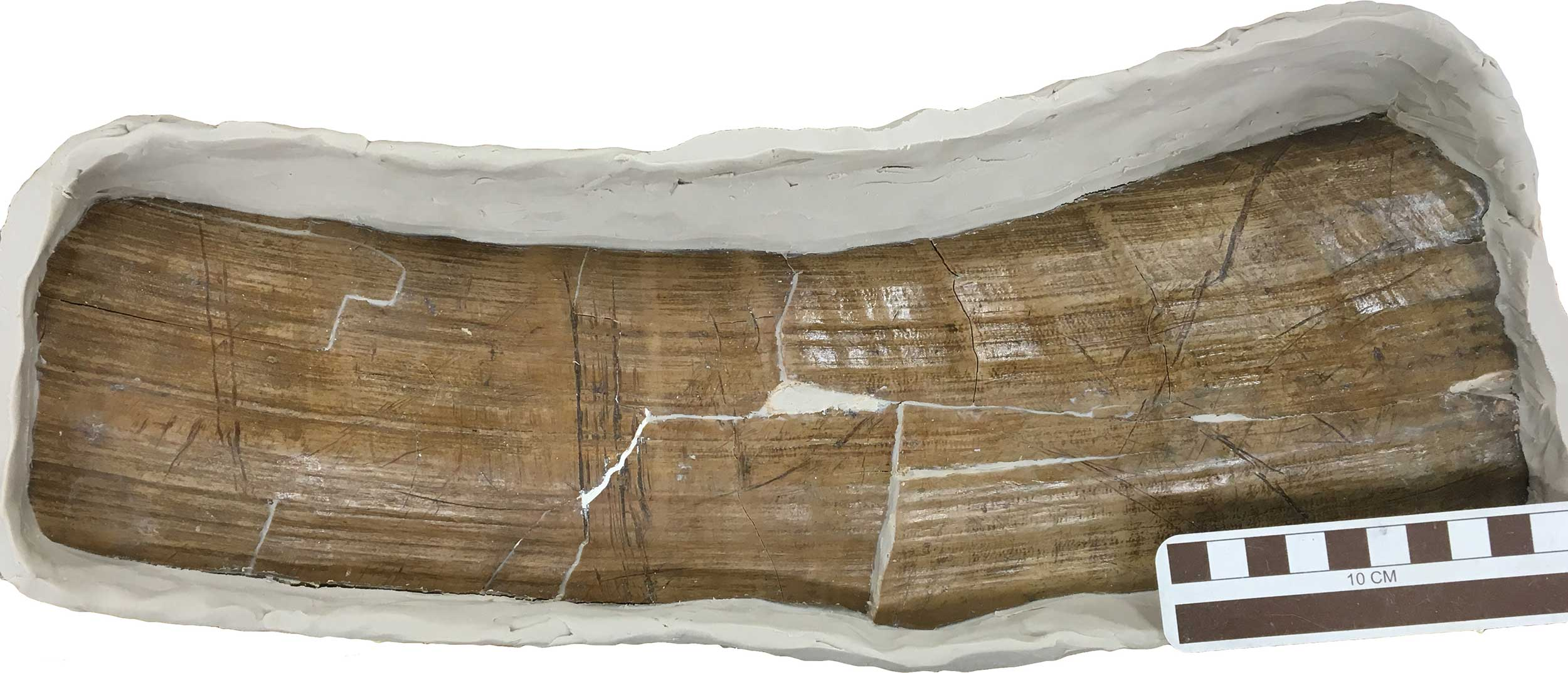 Part of the upper, outer surface of the tusk base, surrounded by modeling clay in preparation for pouring a silicone mold. At center-left is a group of deep, parallel, transverse marks made with a stone tool as part of the tusk removal process. Diagonal marks to the left and right of cut marks were made by bone fragments caught in the space between the tusk surface and the alveolar bone, when the tusk was rotated back and forth while attempting to withdraw it from the socket. Image credit: Daniel C. Fisher, University of Michigan Museum of Paleontology