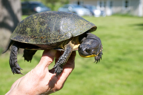 An 83-year-old Blanding's turtle at U-M's E.S. George Reserve near Pinckney. The turtle was first captured in 1954 as part of a long-term study of turtle life histories and reproductive success. Image credit: Christopher Dick