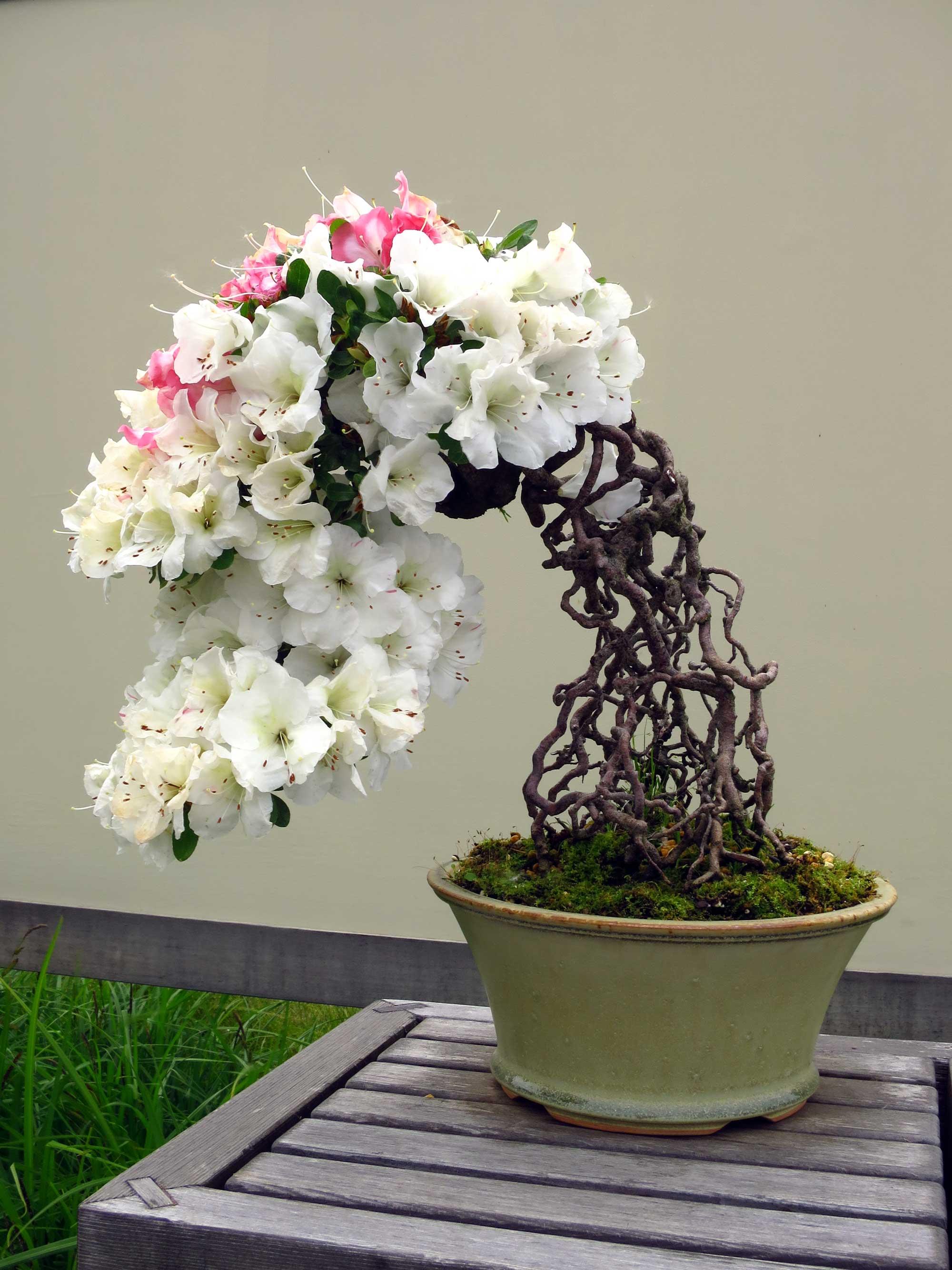 Azalea bonsai from Mel Goldstein's private collection. Image credit: Michele Yanga, Courtesy U-M Matthaei Botanical Gardens