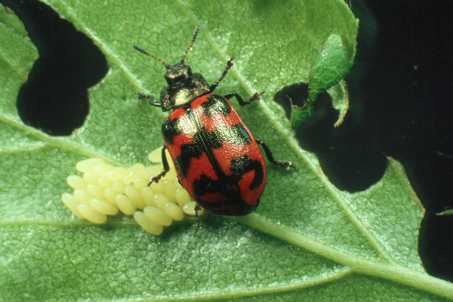 A female Chrysomela lapponica beetle laying eggs on her host plant. C. lapponica is one of four species of leaf-eating beetles monitored in a study of how changes in climate and pollution affect insect population dynamics in a subarctic forest. Image credit: Juergen Gross (Own work) [CC BY-SA 3.0 (http://creativecommons.org/licenses/by-sa/3.0)