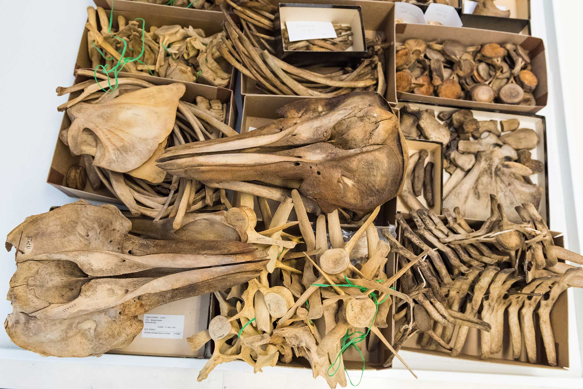 Dolphin skulls, vertebrae and other assorted bones at the U-M Museum of Zoology.
