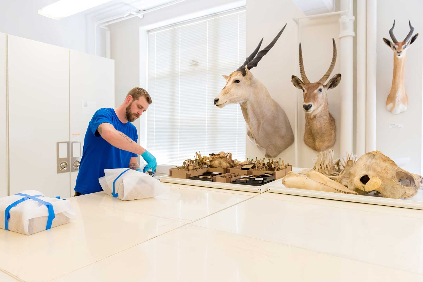 Bret Pollington of Corrigan Moving Systems wraps a dolphin skull at the U-M Museum of Zoology. Mounted heads of several African bovids -- a common eland, a waterbuck and a gerenuk -- are on the wall. Images credit: Daryl Marshke, Michigan Photography