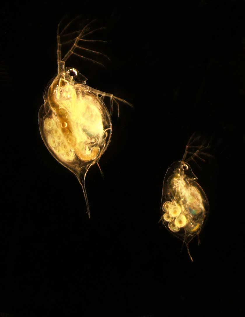 An adult female Daphnia lumholtzi (top left) and an adult female Daphnia dentifera (bottom right). image credit: I. A. Oleksy.