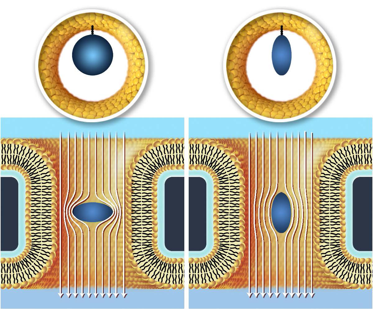 This illustration depicts a side view of proteins (blue) flowing through two electrically charged nanopores.