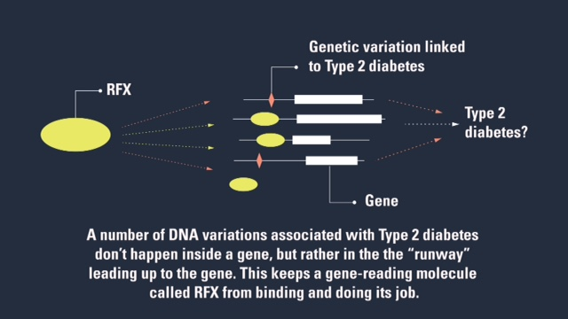 """The researchers' findings suggest that DNA variations linked to Type 2 diabetes interfere with the ability of Regulatory Factor X to bind to a """"runway"""" of DNA before the start of various genes, and therefore with its ability to do its job in the reading of those genes."""