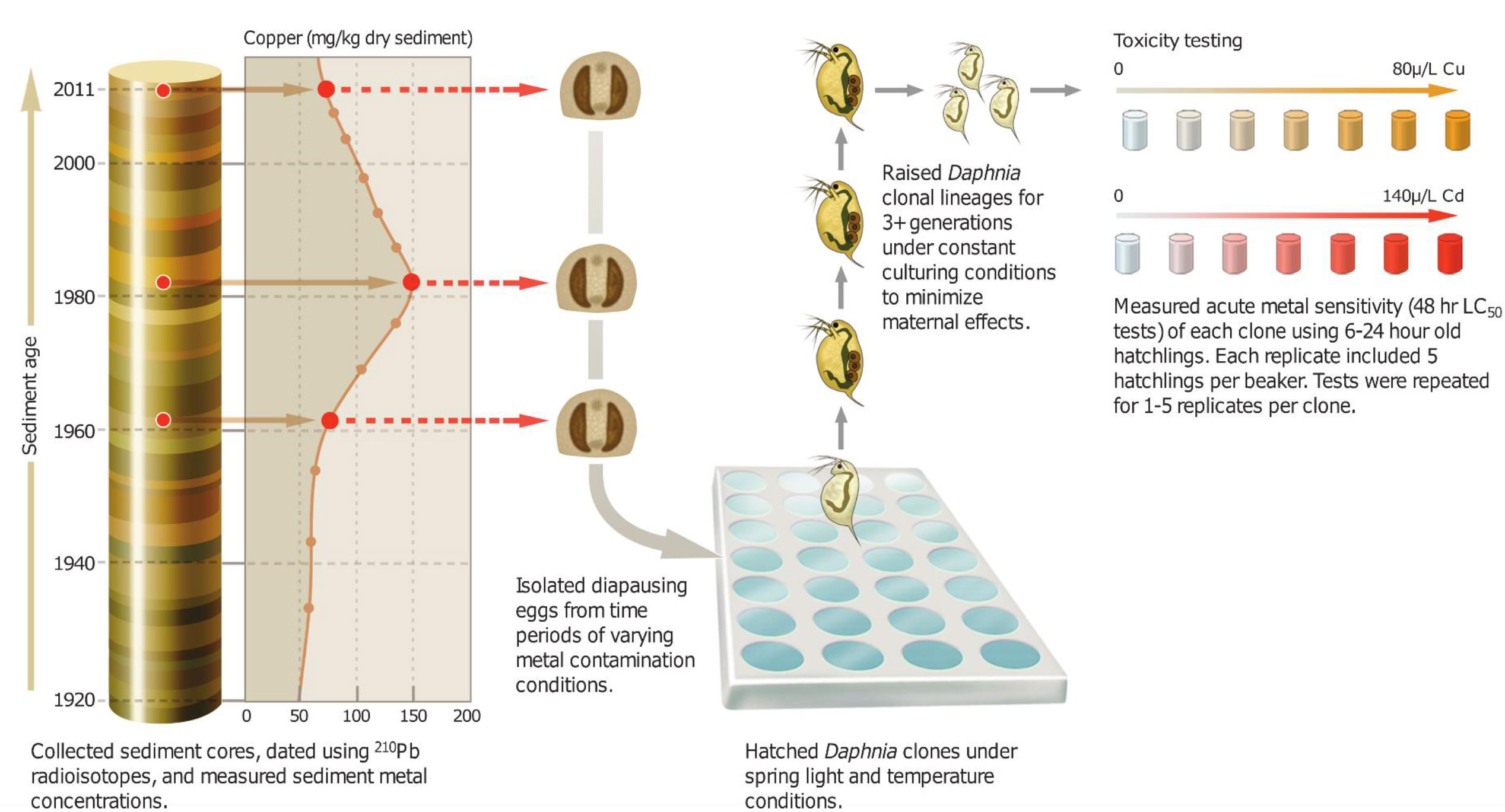 """Diagram showing steps in a study that combined """"resurrection ecology"""" with an analysis of dated lake sediments to examine evolutionary responses to heavy-metal contamination over the past 75 years. Image credit: John Megahan"""