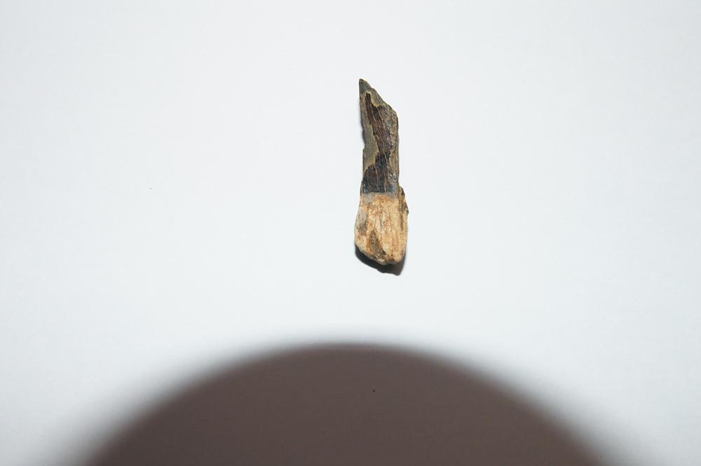 The tooth of a Tyrannosaurus rex. Credit: Kotov Lab, University of Michigan.