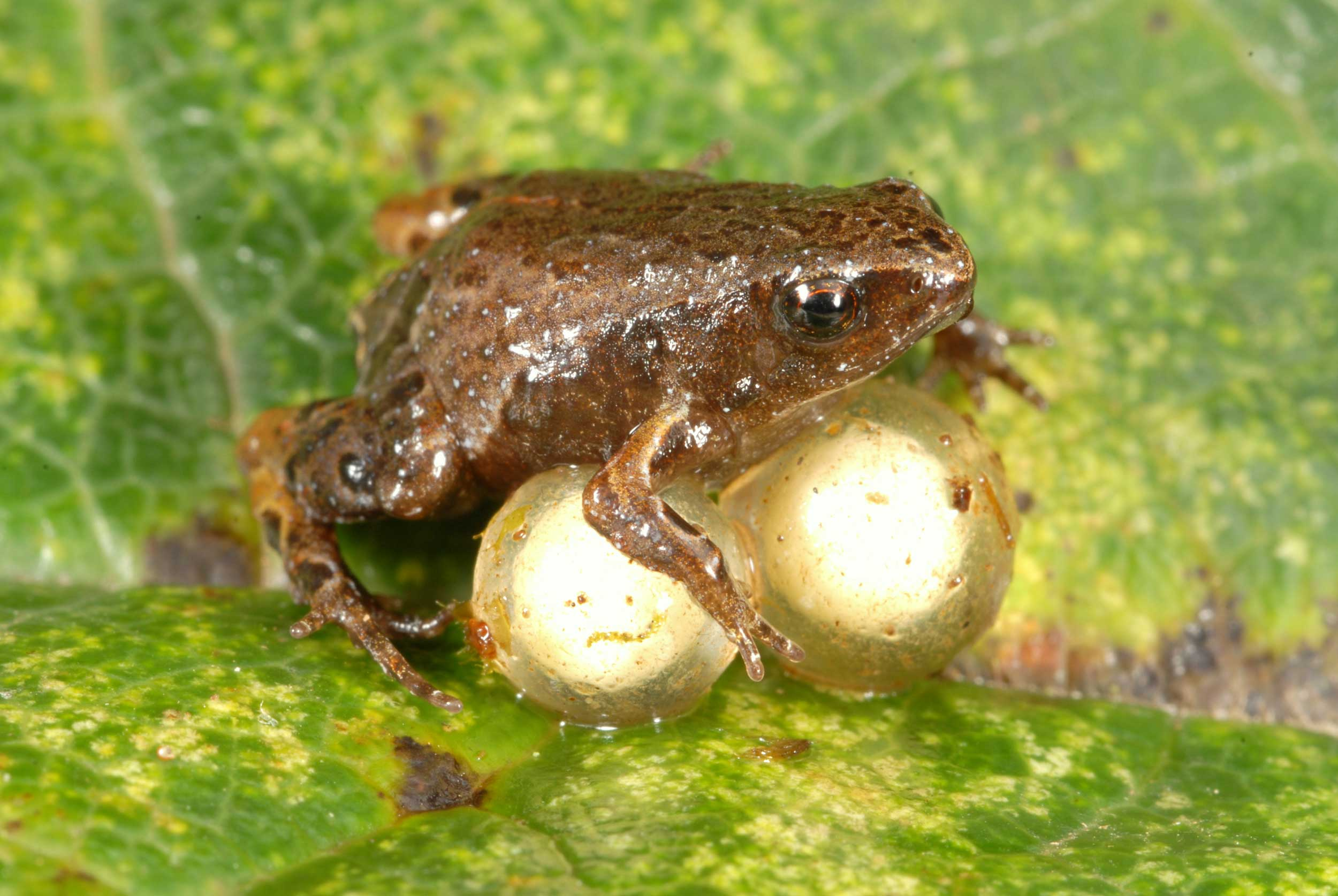 Another species included in the Peruvian frog study was Noblella pygmaea, the smallest frog of the Andes, seen here guarding a clutch of two eggs. These frogs are found in the leaf litter of cloud forest and elfin forest at elevations between 8,934 and 10,990 feet. Adults typically range in size from 0.41 to 0.56 inches (1.03 - 1.42 centimeters). Image credit: Alessandro Catenazzi