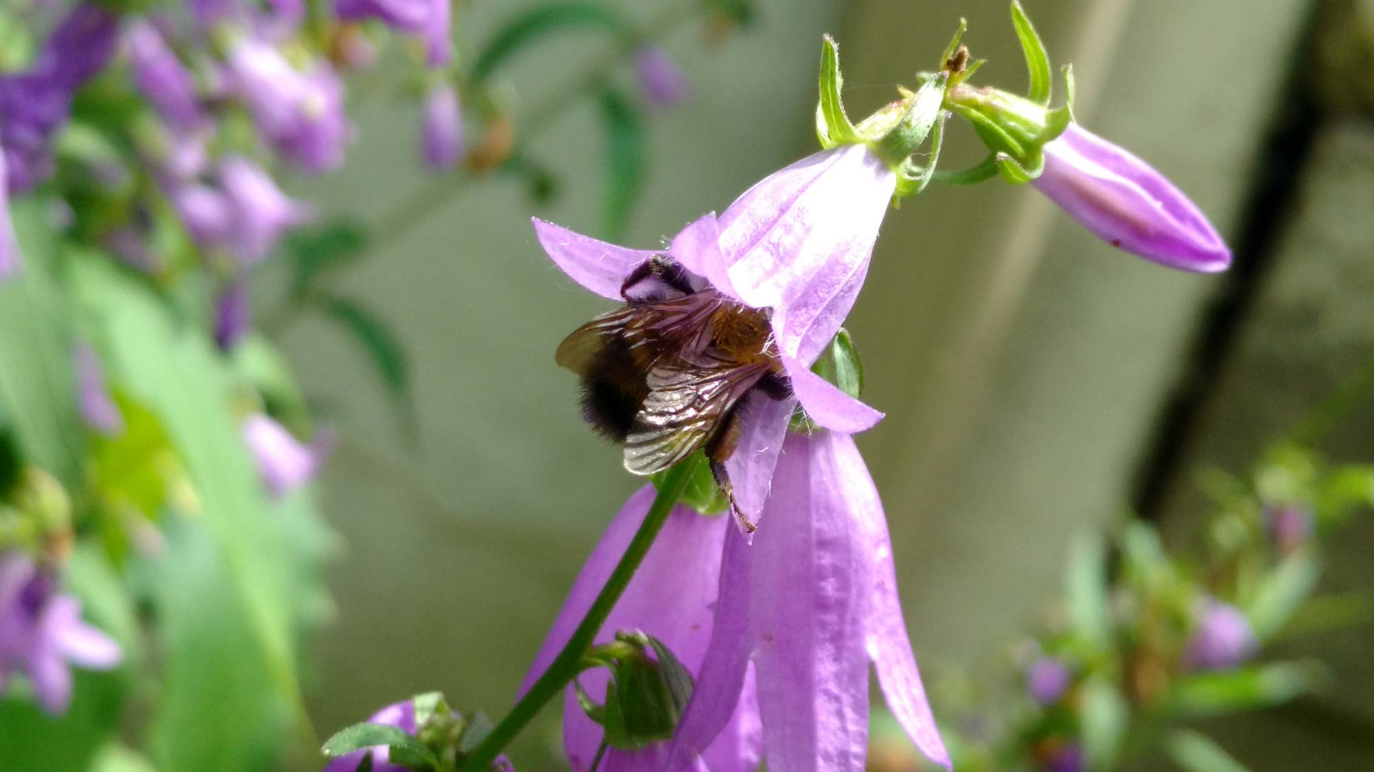 A bumblebee pollinates a creeping bellflower in Ann Arbor. Image credit: Paul Glaum