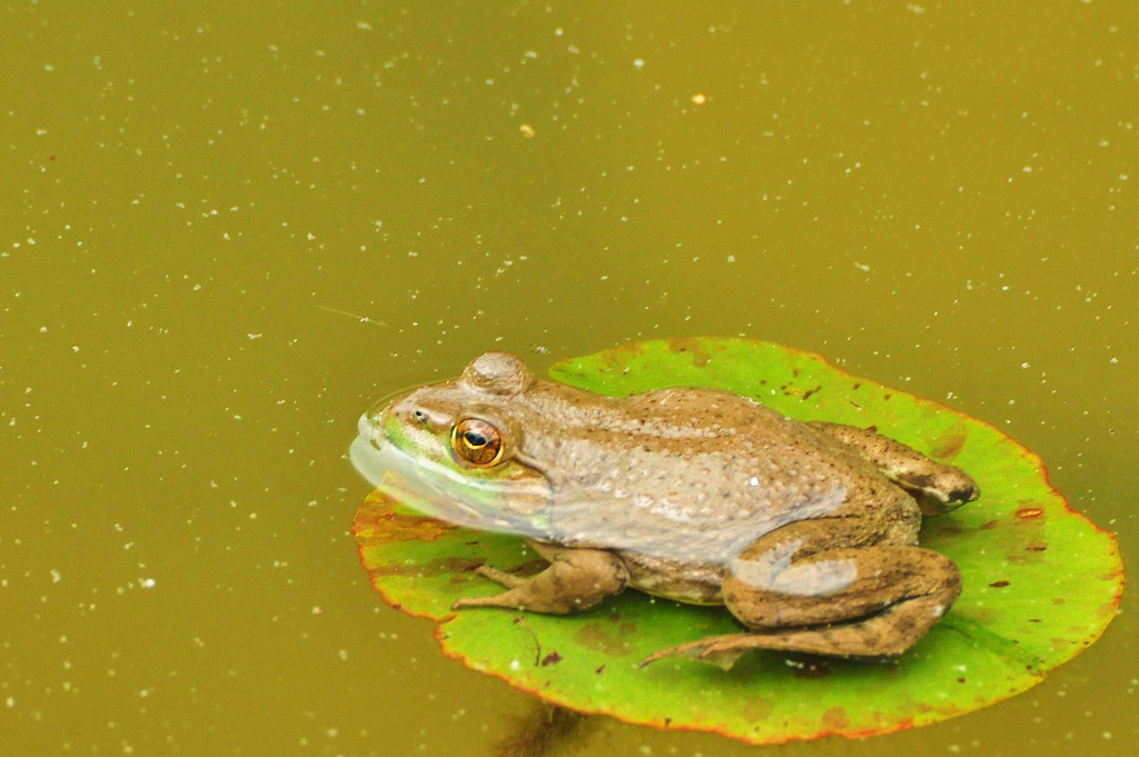 Large frog on a small lillypad. Image credit: jeffreyw via Flickr