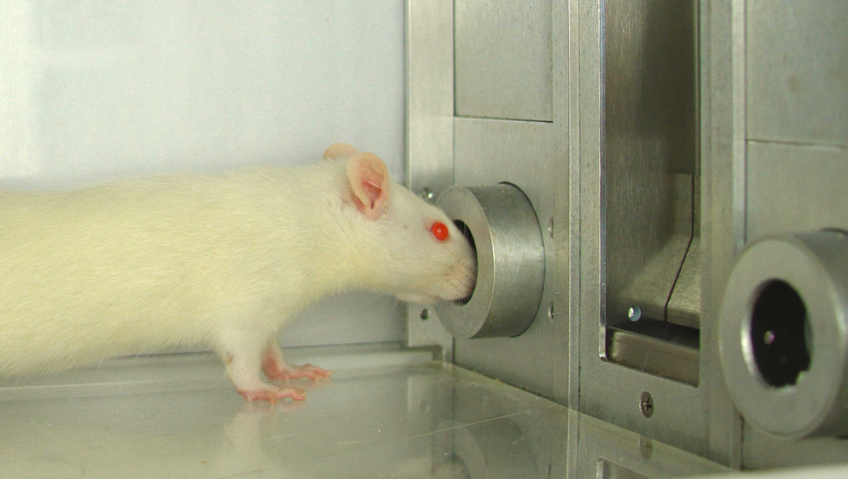 Researchers identified a portion of the brain that intensified the desire for certain rewards, such as cocaine. In the experiments, rats had to choose between two cocaine rewards by poking their noses through small holes in a wall. Image credit: Shelley Warlow