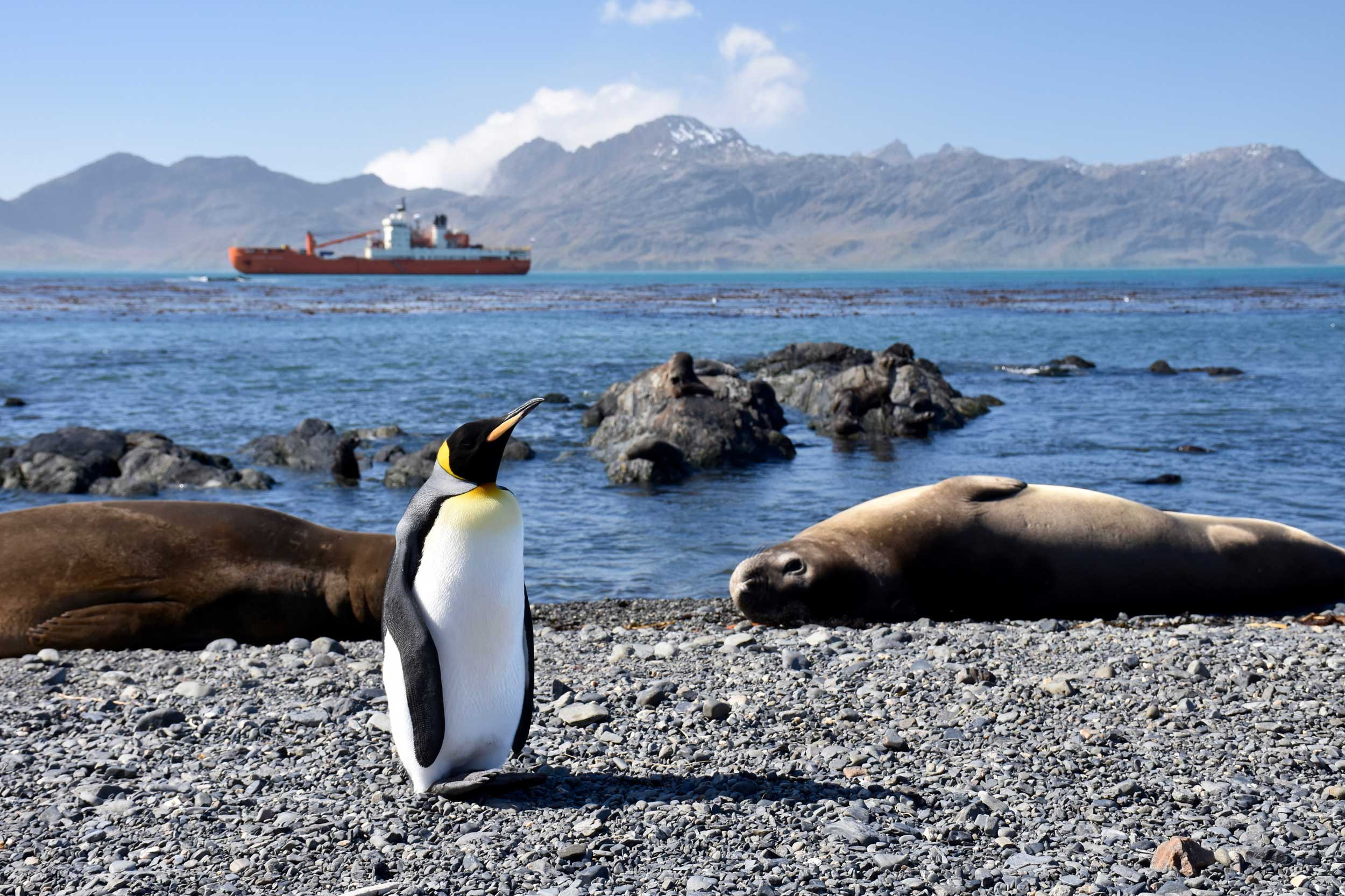 A king penguin and seals on the coast of South Georgia Island in the south Atlantic Ocean, with the Russian research vessel Akademik Treshnikov in the background. The ship spent three months circumnavigating Antarctica in early 2017. Image credit: Melissa Duhaime