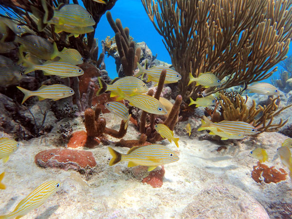 A school of grunts explores a shallow reef at Carrie Bow Cay, Belize, one of Smithsonian MarineGEO's long-term research sites. Biodiversity not only can make sites beautiful, but also can help boost their biomass and make them more productive. (Credit: Ross Whippo/SERC).