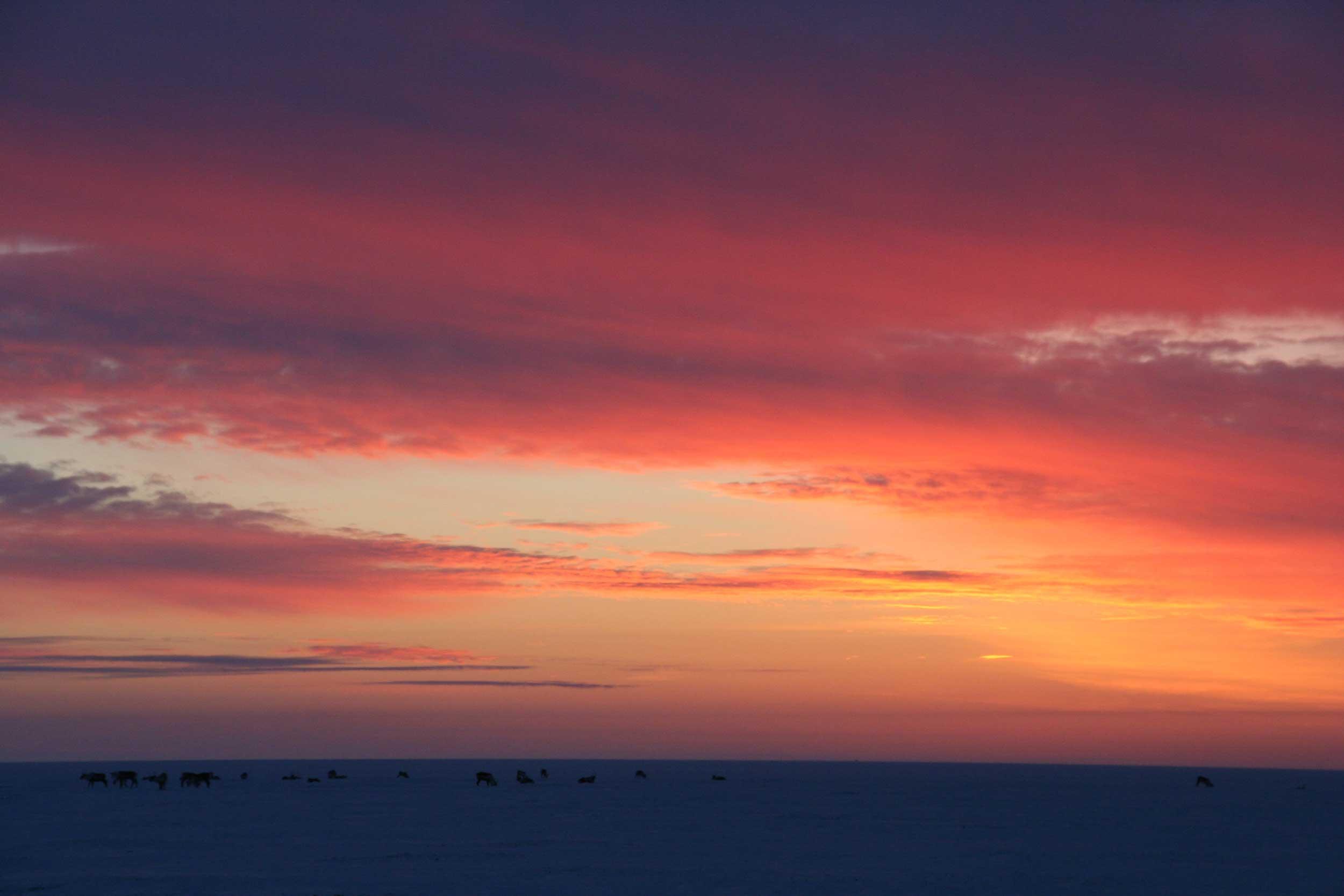 The sun rises over caribou on the Alaskan coastal tundra. Image credit: Kerri Pratt