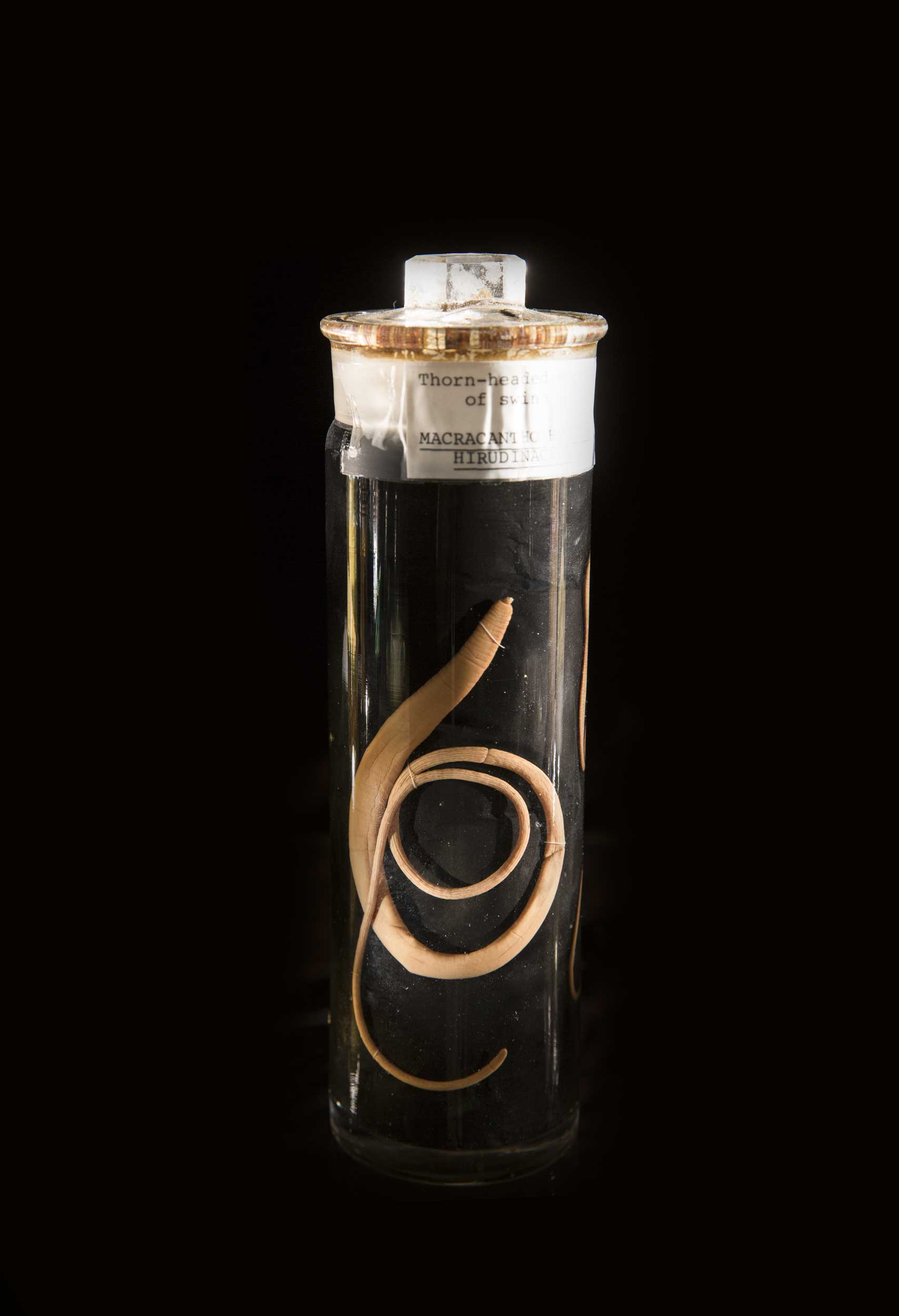 A parasite specimen from the Smithsonian's National Parasite Collection at the National Museum of Natural History. The species, Macracanthorhynchus hirudinaceus, is an acanthocephalan parasite and is usually found in pigs. Parasites often have complex life cycles that involve several species of animals as intermediate hosts, and this particular parasite species spends part of its larval stage in beetles. Image credit: Paul Fetters for the Smithsonian Institution