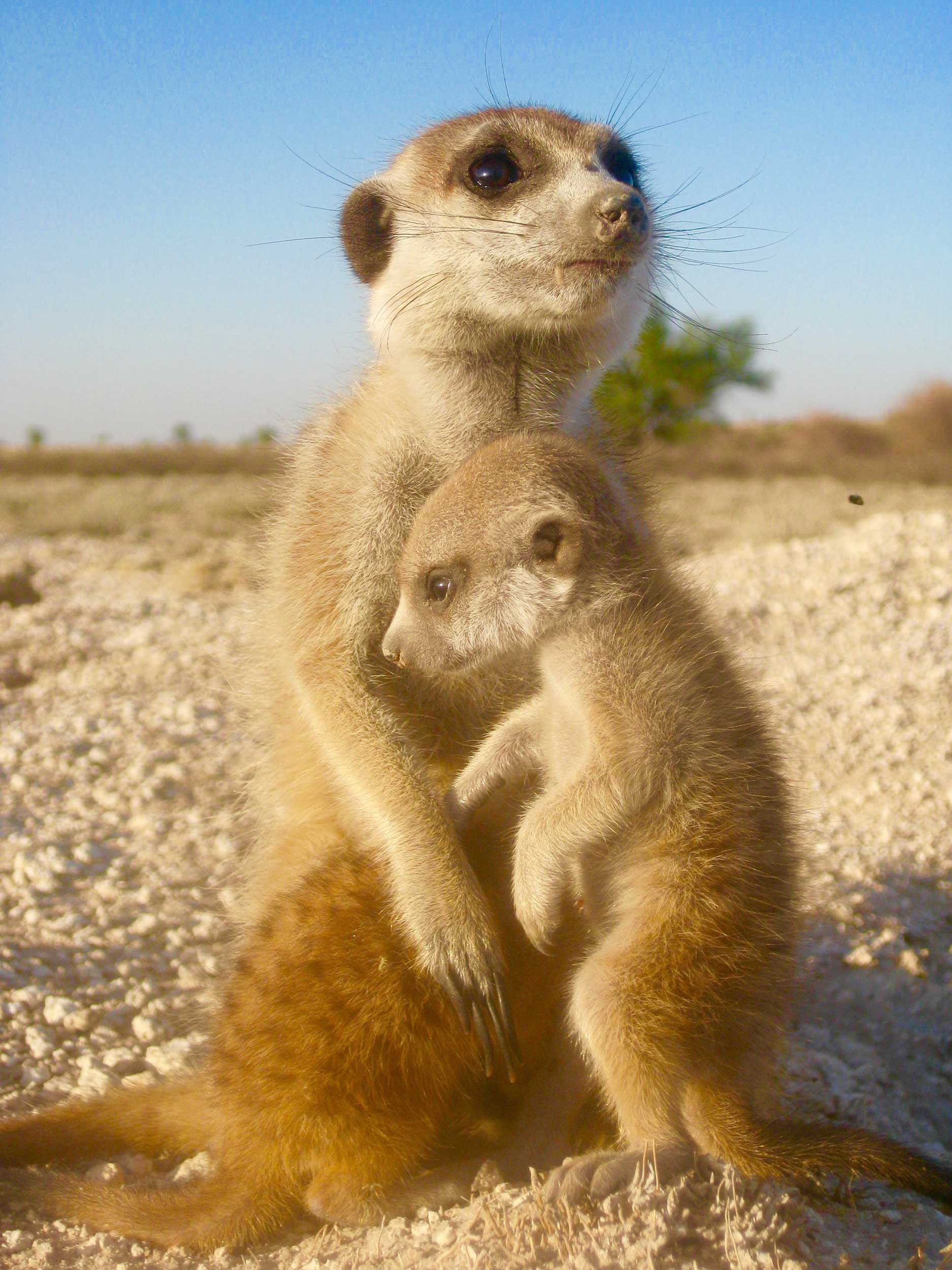 A mother and baby meerkat. Image credit: Ben Dantzer
