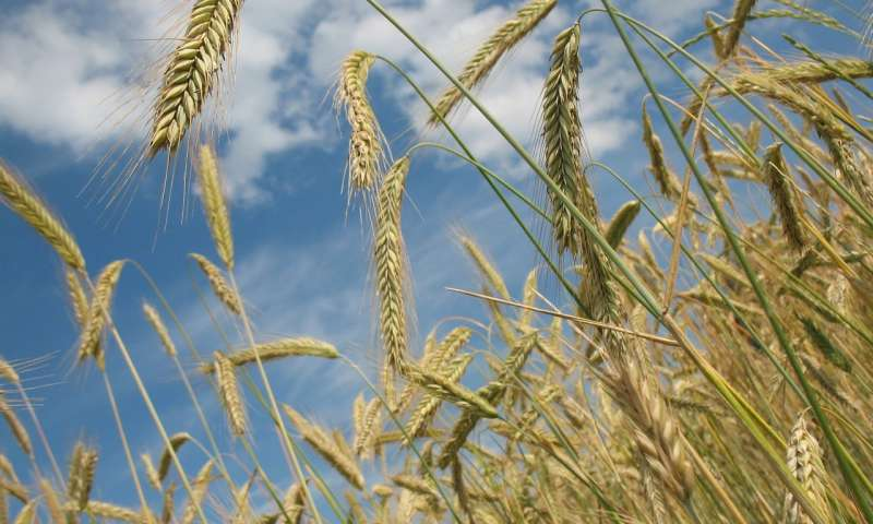 गेहूं के खेत। (स्टॉक छवि)