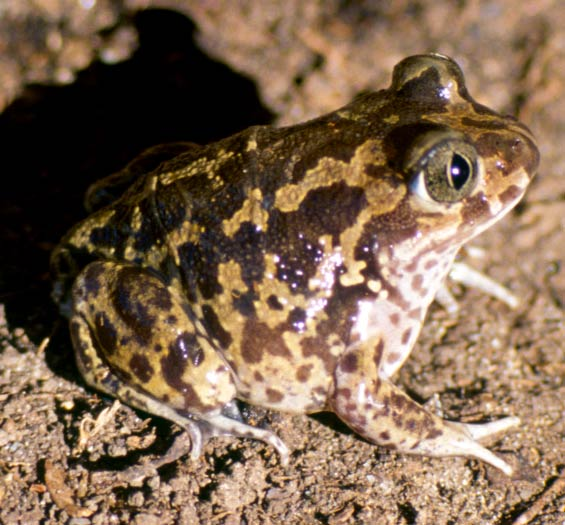 The spadefoot toad species Pelobates cultripes can induce metamorphosis when it senses its pond drying up in order to escape as a juvenile toad.