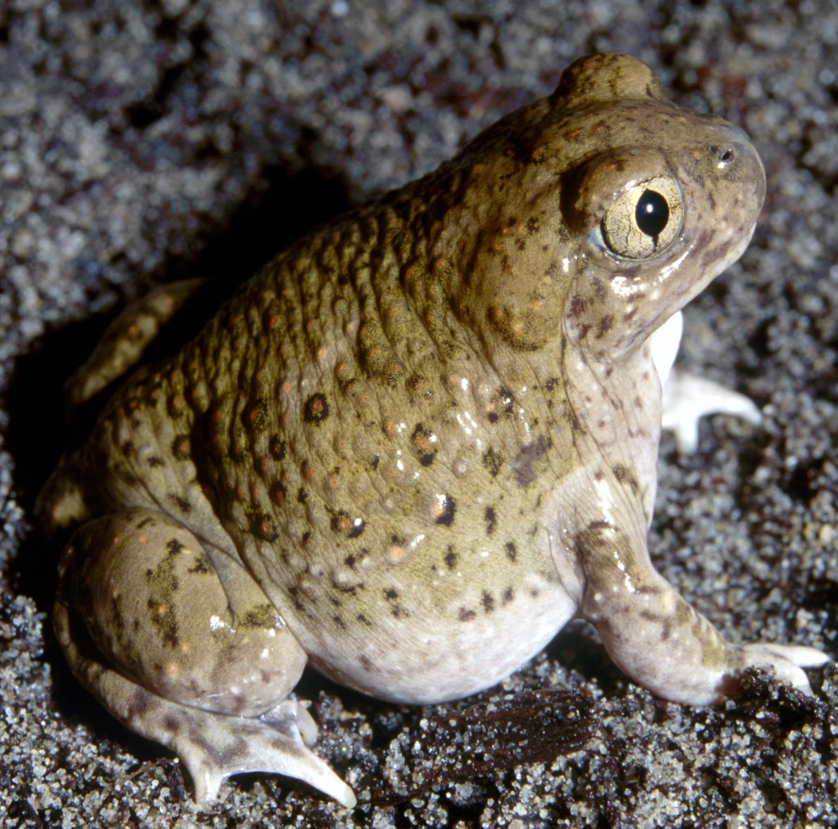 The spadefoot toad species Spea multiplicata can induce metamorphosis when it senses its pond drying up in order to escape as a juvenile toad.