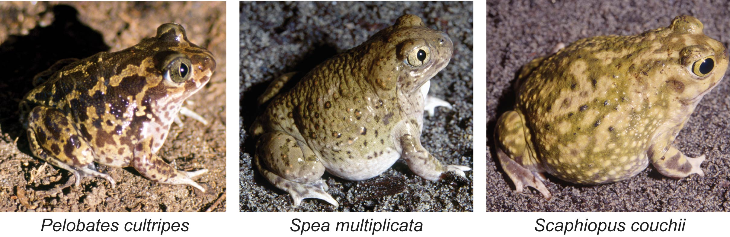 These three species of spadefoot toads metamorphose differently. The first two species from the left are able to regulate the timing of their metamorphosis by modulating hormone production. The species on the right has a fixed period for their metamorphosis. It's all thanks to the ponds they live in. Images courtesy: Robert Denver
