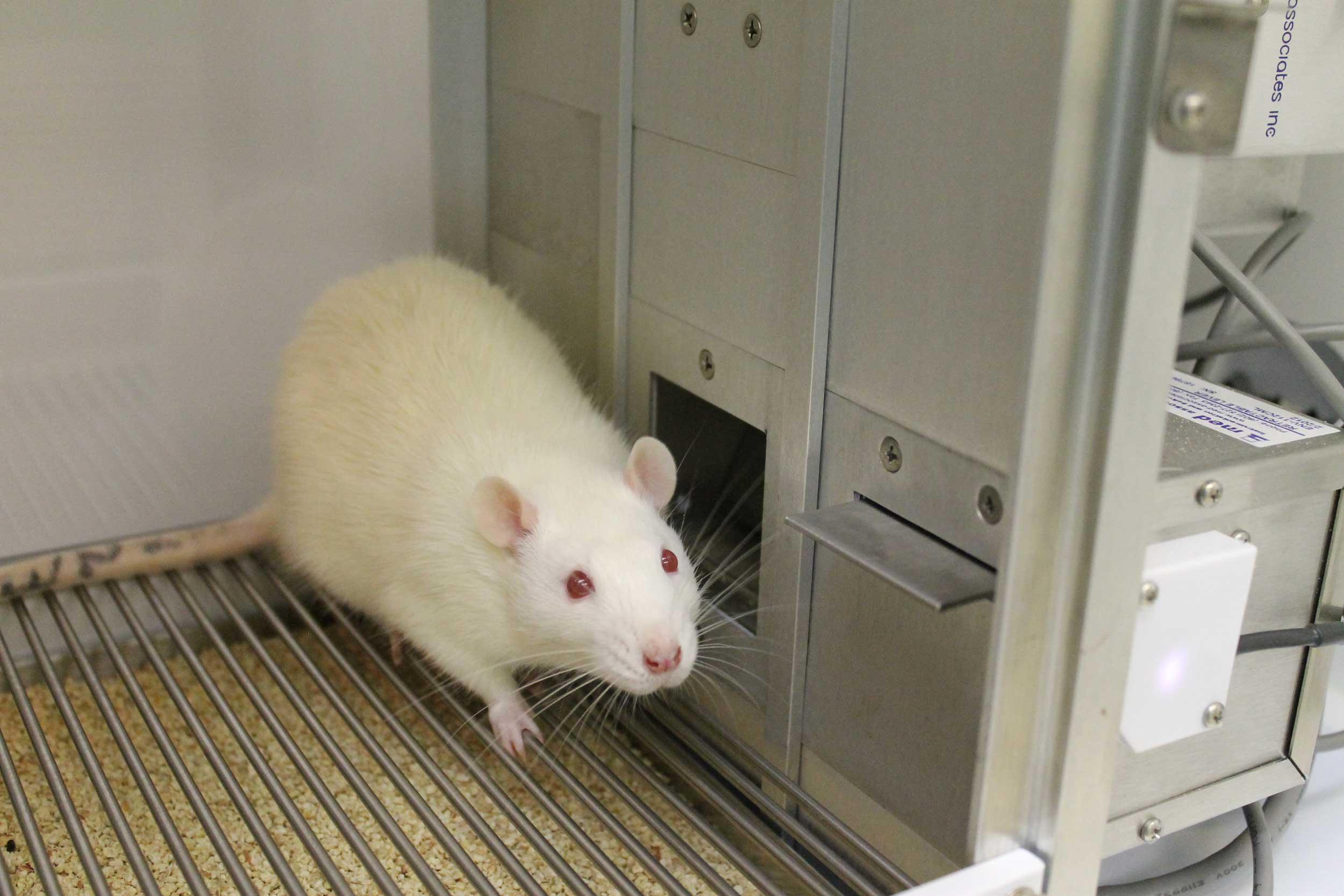Researchers at the University of Michigan and The Open University in England studied how male rats solved increasingly difficult puzzles to receive a cocaine reward. This concept differs from other studies in which rats and other animals repeat the same behavior, such as pressing a lever or poking their noses through a port, to get the drugs. Image courtesy: Bryan Singer