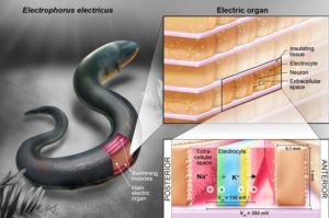 This artist's rendering shows how the eel's electrical organs generate electricity by moving sodium (Na) and potassium (K) ions across a selective membrane. Image Credit: Caitlin Monney
