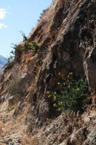 A wild tomato plant, Solanum peruvianum, from field-study sites in the Rio Fortaleza Valley in the Ancash Province of Peru.