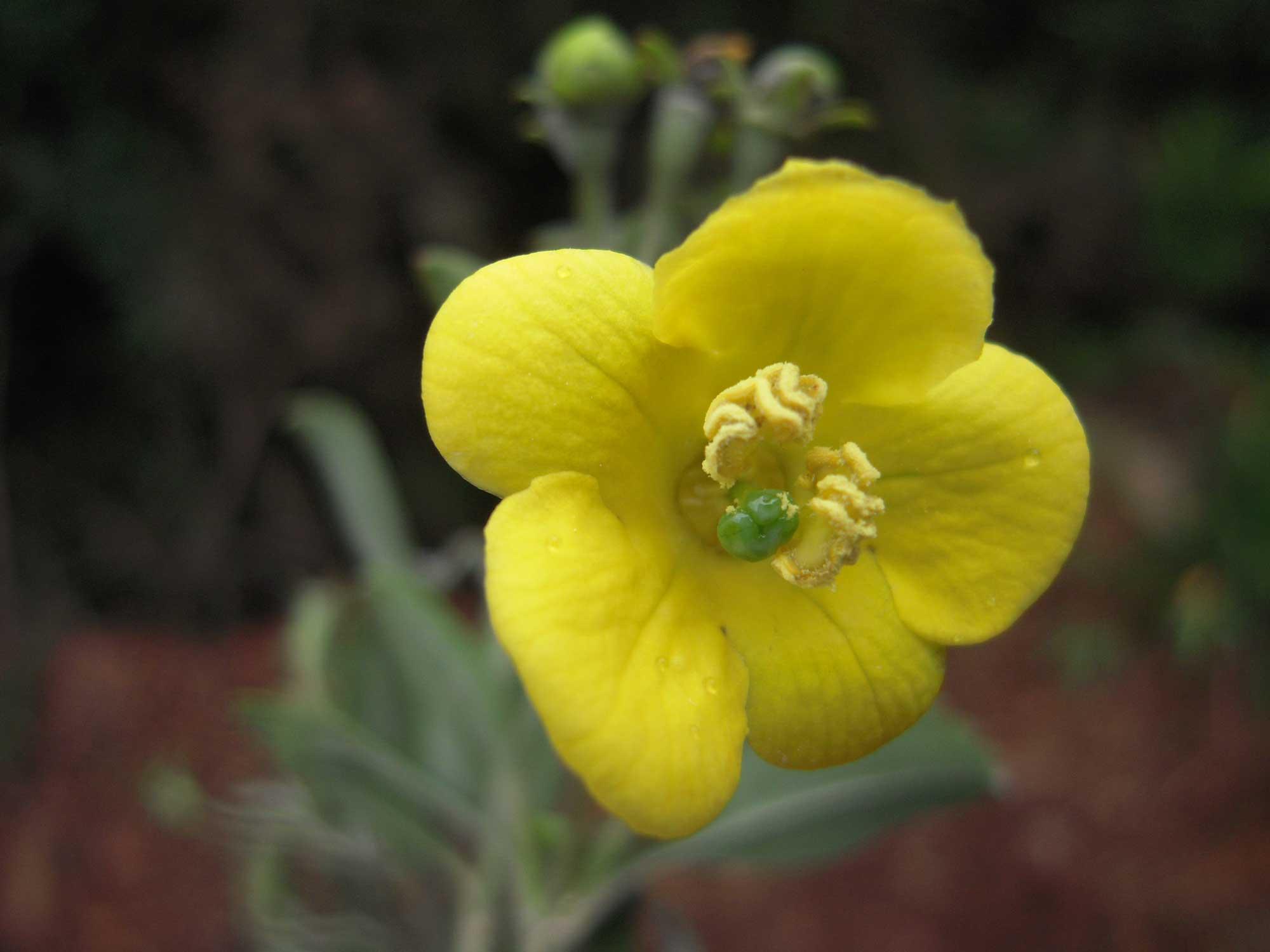 Columellia oblonga, uma planta florida da família Columelliaceae, que é endêmica das Américas. Crédito de imagem: C. Ulloa