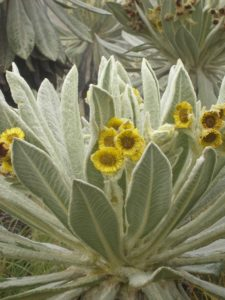 Espeletia pycnophylla, a flowering plant found in Colombia and Ecuador. It is a member of the Asteraceae family, the second-most-diverse plant family in the Americas. Image credit: C. Ulloa