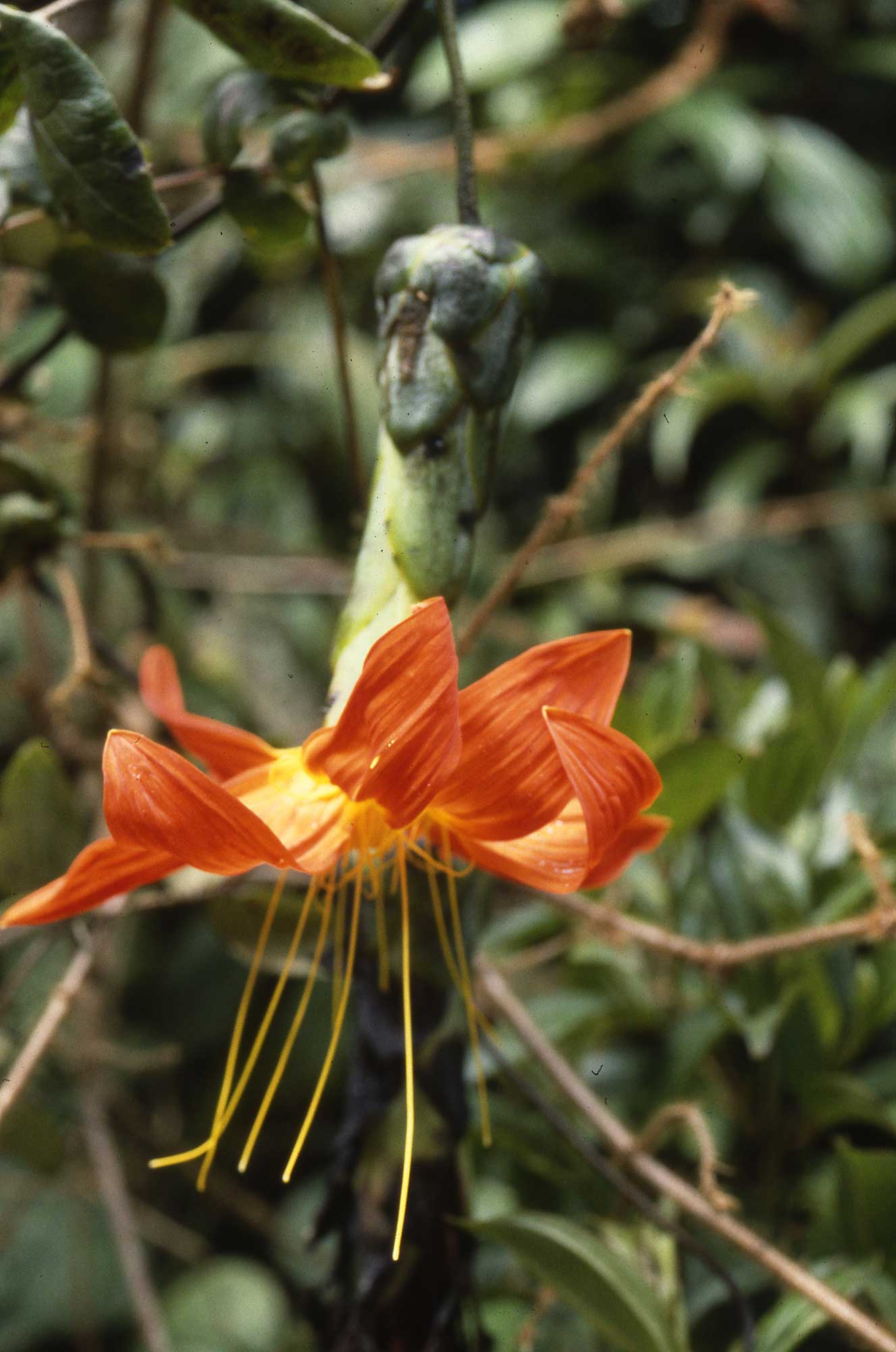 Mutisia magnifica, uma planta florida restrita ao Equador. É membro da família Asteraceae, a segunda família de plantas mais diversas nas Américas. Crédito de imagem: C. Ulloa