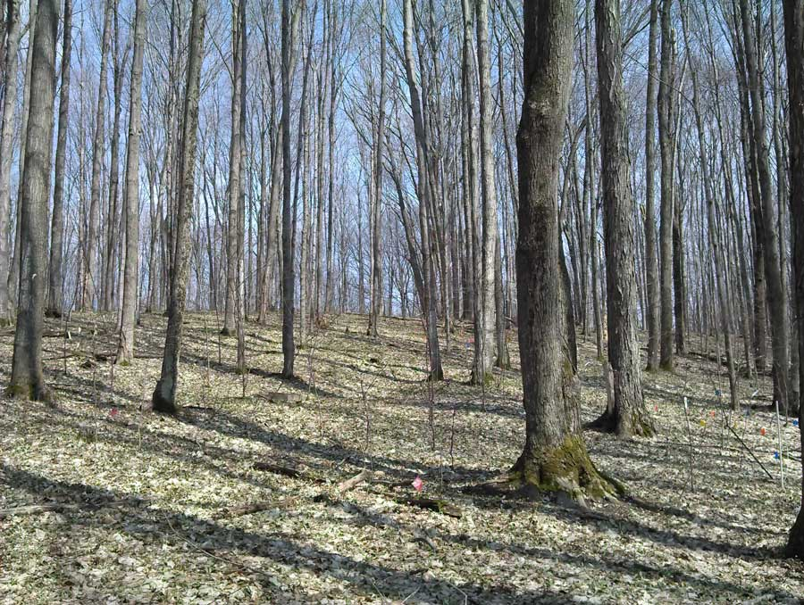 A typical northern hardwood forest in Michigan, dominated by sugar maples and also including red oak, white ash and yellow birch. This forest is located in Wexford County, Michigan, and was part of a U-M-led study examining how nitrogen deposition and a changing climate affect the growth of sugar maples. Photo by Rima Upchurch.