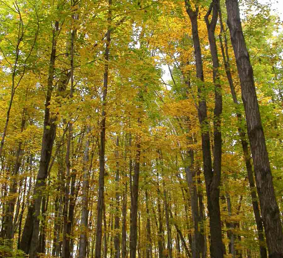 Fall foliage in a Michigan northern hardwood forest. This site is located in Wexford County, Michigan, and was part of a U-M-led study examining how nitrogen deposition and a changing climate affect the growth of sugar maples. Photo by Rima Upchurch.