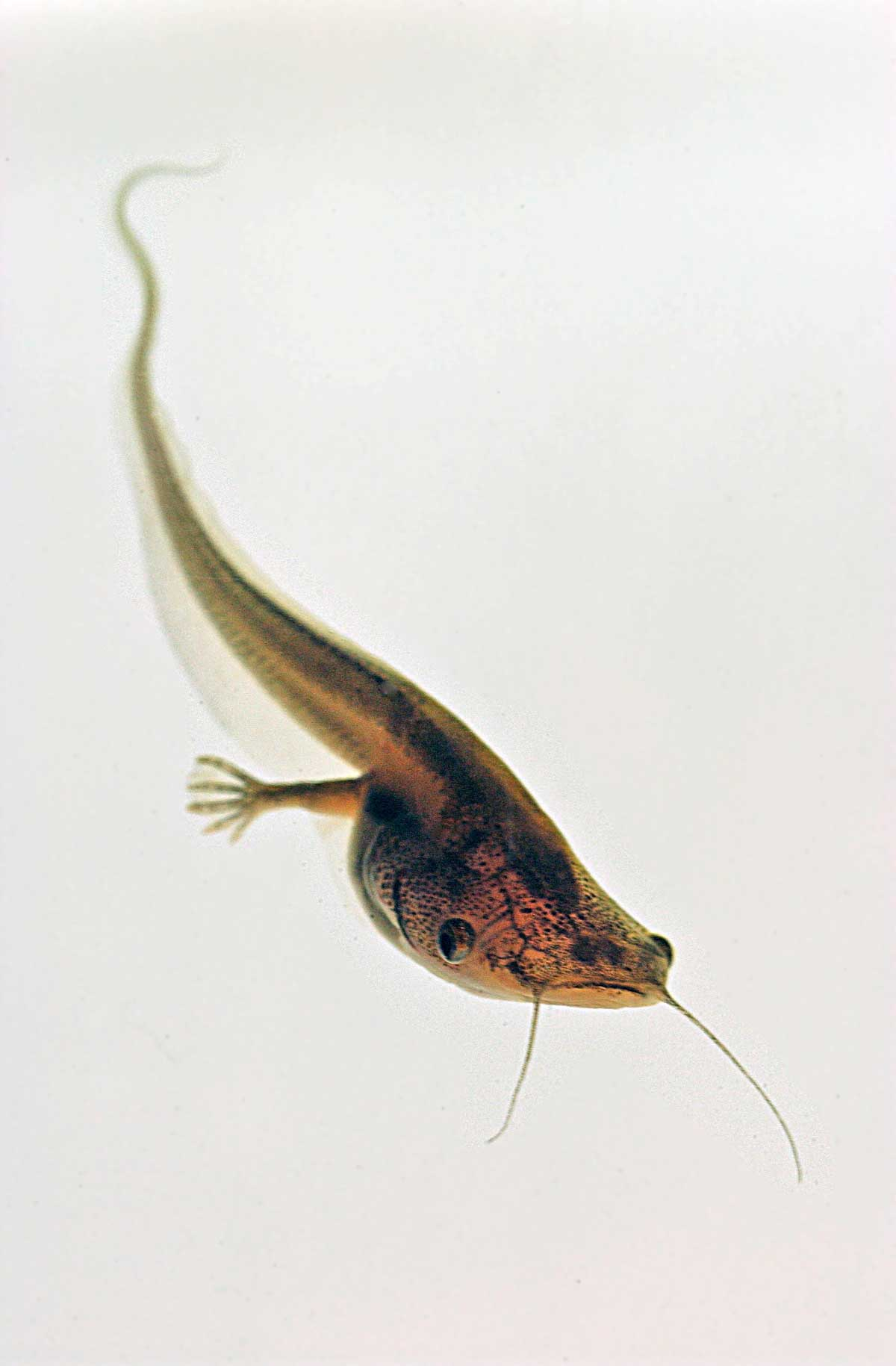 Developmental biologist Robert Denver studies the role of the hormone leptin in the metamorphosis of Xenopus laevis tadpoles. Image credit: David Bay