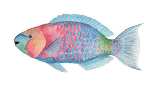 In the U-M-led genetic study, the slower-evolving, tropical fish groups included parrot fish such as Scaridae scarus. Fish image by Julie Johnson.