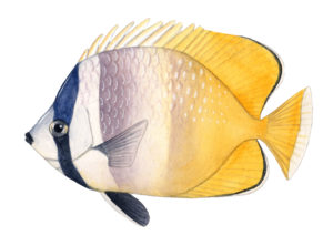 In the U-M-led genetic study, the slower-evolving, tropical fish groups included butterfly fish such as Chaetodontidae chaetodon. Fish image by Julie Johnson.
