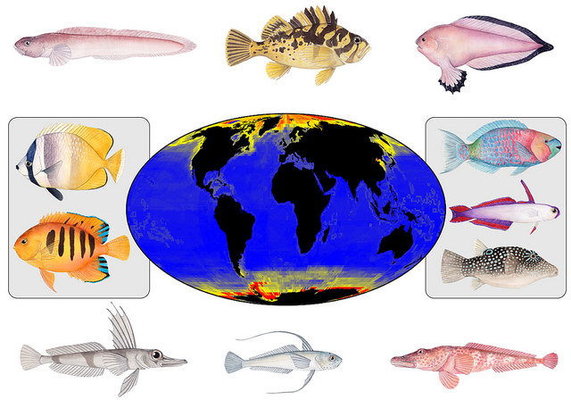 Map shows species-formation rates for marine fish groups at a global scale. Red, orange and yellow indicate regions with faster rates of new species formation, while blue indicates relatively slow speciation rates. Examples of fast-evolving, high-latitude fish groups appear at the top and bottom -- Arctic fishes at the top, Antarctic fishes at the bottom. Examples of slower-evolving, tropical fish groups are in the boxes. Map by D.L. Rabosky et al in Nature. Fish images by Julie Johnson.