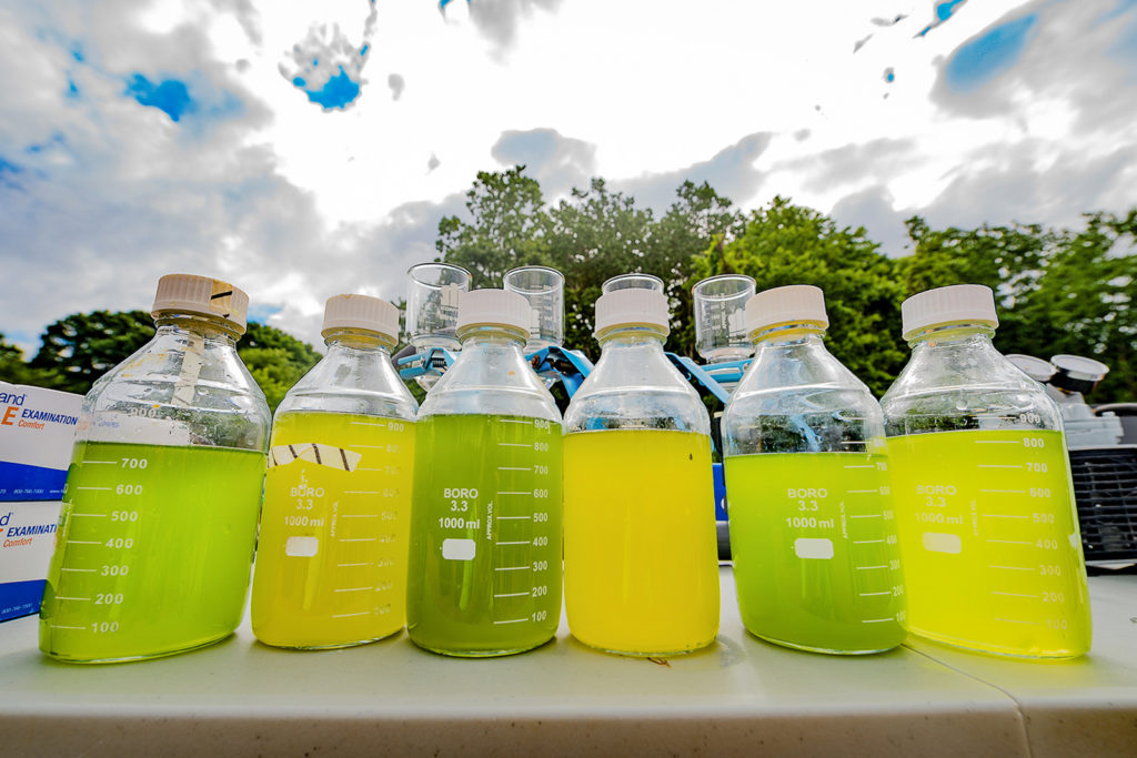 Samples collected from large tanks containing mixes of various freshwater algal species. The green samples are healthy, while the yellow samples were contaminated by a fungal disease. The biofuels experiment was conducted in the summer of 2016 at U-M's E.S. George Reserve near Pinckney, Mich